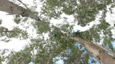 forest : Eucalyptus leaf green tree against sky very high with sun light and environment background forest :Ultra HD 4K High quality footage size 3840x2160