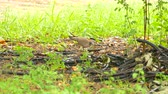 avian : Spotted dove is resting and walking on the ground with green grass:Ultra HD 4K High quality footage size 3840x2160