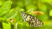 borboleta : Butterfly perched on bright green leaves Close Up, Defocused Background:Ultra HD 4K High quality footage size 3840x2160 Stock Footage