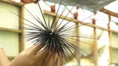guloseima : Sea Urchin on hand of diver from Thailand. Caught up by divers for details and movements of the sea urchins.
