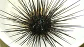 guloseima : Sea urchins in Thailand. Caught up by divers for details and movements of the sea urchins. Stock Footage