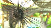 ouriço : Sea urchins in Thailand. Caught up by divers for details and movements of the sea urchins. Vídeos