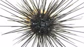 comestível : Sea urchins in Thailand. Caught up by divers for details and movements of the sea urchins. Vídeos