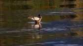 Great crested grebe flapping wings and swimming away Dostupné videozáznamy