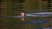 Great crested grebe jumping out of the water shaking its feathers and swimming away