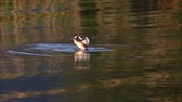 Great crested grebe flapping its wings in its natural habitat Dostupné videozáznamy