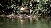 Great crested grebe,Podiceps Cristatus,getting into position on its floating nest and incubating eggs