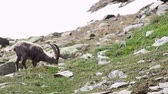 Ibex in high mountains in the Alps grazing and chewing video footage Dostupné videozáznamy