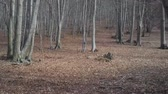 Smooth forward motion through a beech tree forest in the winter with a carpet of foliage on the ground Dostupné videozáznamy