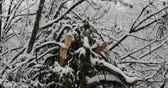 Leafless tree branches covered in white snow during winter snowstorm with broken tree trunk Dostupné videozáznamy