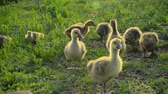 oison : Little goslings eating grass on a poultry farm