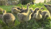 pato real : Little goslings eating grass on a poultry farm