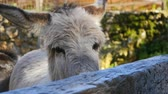 осел : Two cute donkey looking out from the hence in the zoo