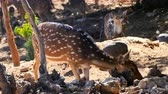 fawn : Curious spotted deer in the zoo