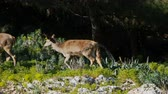 paroh : Baby roe deers in the summer green forest Dostupné videozáznamy