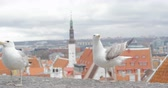 tallin : Seagull on the background of the red roofs of Old Tallinn.