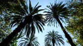 devaneio : Sun rays seen through the palm leaves. Camera moving foreward on the palm trees street Stock Footage