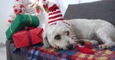 Sad dog with Christmas hat and gifts laying on sofa