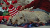 Happy couple in sweaters with dog in Christmas hat decorating Christmass tree while dog laying next to them on the floor Dostupné videozáznamy