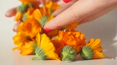 malmequer : Womans hand put carefully calendula heads on white table to dry it Stock Footage