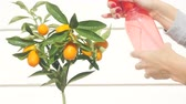 naranjas : Womans hand watering kumquat berries and leaves. Exotic fruits gardening