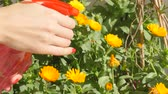 flower bed : Watering calendula flowers with bottle spray garden watering can