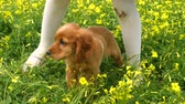 gluren : Cocker Spaniel puppy standing between childs legs in the field of beautifully blooming yellow spring flowers