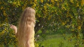 akác : Young beautiful smiling woman with long blond hair in yellow dress enjoying the smell of spring Australian Golden wattle trees garden in slow-motion. Stock mozgókép