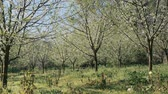 idílio : Beautiful spring background of nature. Blossoming plum trees garden in the morning Vídeos