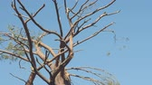 orkan : Windfall in forest. Storm damage. Broken tree on blue sky background Videos