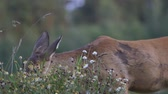 buzağı : Closeup of young doe eating grass on pasture of hills nature, wildlife animal concept