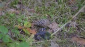 plazit se : Northern ring-necked snake (Diadophis punctatus Arnyi) in wildlife in the woods