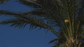 Африка : Closeup of volleyball ball stuck in the date palm tree in windy weather Стоковые видеозаписи