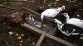 gansos : Domestic ducks drink water in a village from a large metal tank