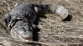 crocodilo : crocodile by land hunts