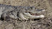 áfrica do sul : crocodile by land hunts
