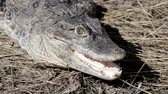 predador : crocodile by land hunts