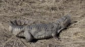 crocodile by land hunts
