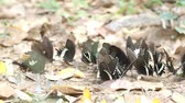 butterflies eat mineral on the ground in natural outdoor Stok Video