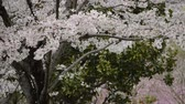 the cherry blossoms are blown by the wind, and the petals are scattered like a snowstorm