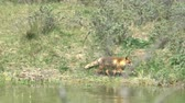 besta : A red fox that runs along the water.