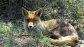 dravý : A red fox lies in the dunes and looks around.