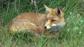 alerta : Red fox resting in the tall grass.