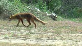 bata blanca : A red fox walks into its territory, stops and looks back.