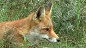 masožravý : Red fox sees something, gets up and walks towards it.