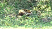 alerta : A sleeping red fox in the grass with its head on its tail.