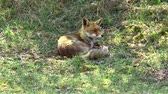 животные в дикой природе : A lazy red fox is lying in the grass and looking around.