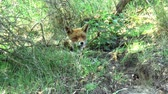 животные в дикой природе : A red fox is lying in the grass.