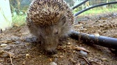 cravado : A hedgehog is sitting still in the garden. Vídeos