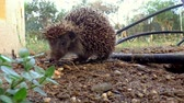 tüske : A hedgehog prowling in the garden.